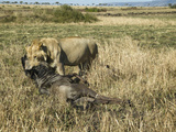 Young Male African Lion (Panthera Leo) Dragging its Wildebeest Kill, Masai Mara, Kenya Photographic Print by Joe McDonald