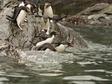 Macaroni Penguins Entering the Surf (Eudyptes Chrysolophus), Falkland Islands Photographic Print by Mary Ann McDonald