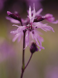 Ragged Robin (Lychnis Flos-Cuculi) Photographic Print by Phillip Smith