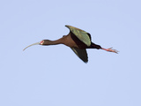 White-Faced Ibis in Flight (Plegadis Chihi), Montana, USA Photographic Print by Neal Mischler