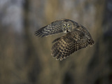 Great Gray Owl Flying at Dusk (Strix Nebulosa), North America Photographic Print by Joe McDonald