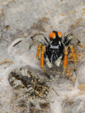 A Male Jumping Spider (Philaeus Chrysops) Mate Guarding its Female Photographic Print by Fabio Pupin