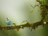 Blue-Gray Tanager (Thraupis Episcopus), Arenal Volcano, Costa Rica Photographie par Joe McDonald