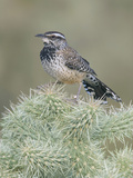 Cactus Wren (Campylorhynchus Brunneicapillus) on Cholla Cactus Reproduction photographique par Steve Maslowski