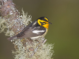 Male Blackburnian Warbler (Dendroica Fusca), Maine, USA Photographic Print by Garth McElroy