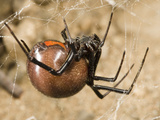 Female Black Widow Spider in its Web (Latrodectus Mactans) Photographic Print by Joe McDonald