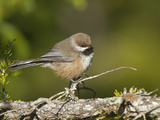 Boreal Chickadee (Poecile Hudsonica), Maine, USA Photographic Print by Garth McElroy