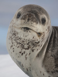 Leopard Seal Head (Hydrurga Leptonyx) Photographic Print by Louise Murray
