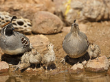 Gambel's Quail Family Drinking at a Waterhole (Callipepla Gambelii), Arizona, USA Photographic Print by Mary Ann McDonald