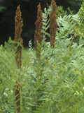 Royal Fern with Fertile Fronds, Osmunda Regalis, Eastern USA Photographic Print by David Sieren