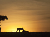 African Lion Silhouette Running across the Savanna Chasing Prey at Sunset (Panthera Leo) Photographic Print by Joe McDonald