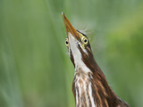 Green Heron, Butorides Virescens, Fledged Young Head from Below Showing its Eye Placement, Florida Photographic Print by Arthur Morris
