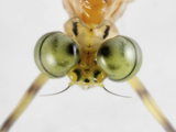 Mayfly (Ephemeroptera) Showing the Eye Structure Photographic Print by Mark Plonsky