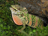Anolis Lizard Display (Dactyloa Insignis), Cloud Forest, Costa Rica Photographic Print by Thomas Marent