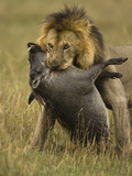 Male African Lion (Panthera Leo) Killing a Warthog, Masai Mara Game Reserve, Kenya Photographic Print by Joe McDonald