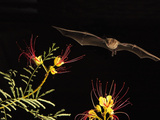 Lesser Long-Nosed Bat (Leptonycteris Curasoae) an Endangered Species, Flying at Night Photographic Print by Jack Milchanowski