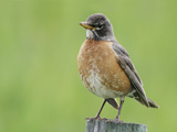 American Robin Female on a Fence Post, Turdus Migratorius, North America Stampa fotografica di Arthur Morris