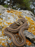 A Four-Lined Snake (Elaphe Quatuorlineata) on a Rock, Croatia Photographic Print by Fabio Pupin