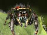 Colorful Jumping Spider on a Green Leaf Photographic Print by Mark Plonsky