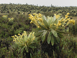 Frailejon (Espeletia)In the High Altitude Grasslands of Puracâ» National Park, Department Cauca Photographic Print by Thomas Marent