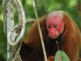 Red Uakari or Bald Uacari (Cacajao Calvus Rubicundus), Lago Preto, Peru Photographic Print by Thomas Marent