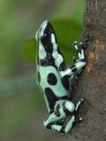 Green and Black Poison Frog (Dendrobates Auratus), Cahuita National Park, Costa Rica Photographic Print by Thomas Marent