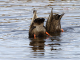 American Black Ducks (Anas Rubripes) Feeding Photographic Print by Garth McElroy