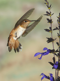 Female Rufous Hummingbird (Selasphorus Rufus) Flying at Salvia (Salvia Guaranitica) Photographic Print by Jack Milchanowski