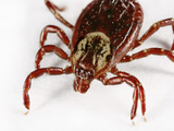 American Dog or Wood Tick Photographic Print by Mark Plonsky
