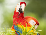 Scarlet Macaw (Ara Macao), Sarapiqui, Costa Rica Photographic Print by Mary Ann McDonald