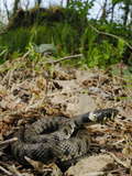 A Young Grass Snake (Natrix Natrix) Basking in a Sunny Spot on the Forest Floor, Italy Photographic Print by Fabio Pupin