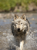 Gray Wolf (Canis Lupus) Running, Montana, USA Photographic Print by Joe McDonald