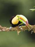 Keel-Billed Toucan in Breeding Plumage (Ramphastos Sulfuratus), Laguana Del Lagarto, Costa Rica Photographic Print by Mary Ann McDonald