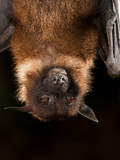 Head of a Giant Fruit Bat or Large Flying Fox (Pteropus Vampyrus) Hanging from a Branch Photographic Print by Joe McDonald