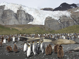 King Penguin Colony of Adults and Young (Aptenodytes Patagonicus), Gold Harbour, South Georgia Photographic Print by Richard Roscoe