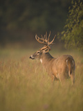 White-Tailed Deer (Odocoileus Virginianus) Grazing, Texas, USA Photographic Print by Jack Milchanowski