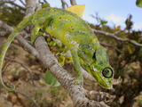 A Chameleon (Chamaeleo Monachus), Socotra, Yemen Photographic Print by Fabio Pupin