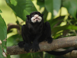 Moustached Tamarin (Saguinus Mystax), Pacaya-Samiria National Park, Peru Photographic Print by Thomas Marent