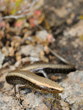 West Canary Skink (Chalcides Viridianus), La Gomera, Canary Islands Photographic Print by Fabio Pupin
