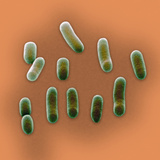 A Scanning Electron Micrograph of Haemophilus Influenzae Photographic Print by David Phillips
