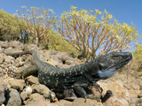 A Huge Male Tenerife Lizard (Gallotia Galloti), Tenerife, Canary Islands Photographic Print by Fabio Pupin
