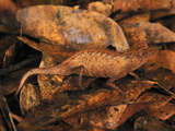 Plated Leaf Chameleon Camouflaged on Dead Leaves (Brookesia Stumpffi) Photographic Print by Thomas Marent
