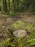 Eastern Box Turtle (Terrapene Carolina Carolina) Found in the Eastern United States Photographic Print by Joe McDonald