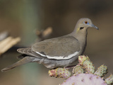 White-Winged Dove, Zenaida Asiatica, Arizona, USA Photographic Print by Joe McDonald