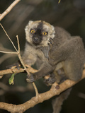 Brown Lemur (Eulemur Fulvus) in a Tree, Madagascar Photographic Print by Joe McDonald