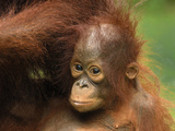 Borneo Orangutan Baby (Pongo Pygmaeus), Camp Leaky, Tanjung Puting National Park, Kalimantan Photographic Print by Thomas Marent