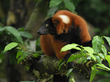 Red Ruffed Lemur (Varecia Variegata Rubra), Masoala, Madagascar Photographic Print by Thomas Marent