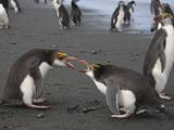 Royal Penguin (Eudyptes Schlegeli) Aggressive Behavior, Macquarie Island Photographic Print by Richard Roscoe