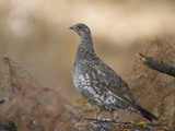 Blue Grouse, Dendragapus Obscurus, Western North America Photographic Print by Joe McDonald