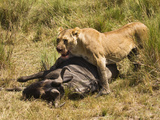 Lioness (Panthera Leo) with Wildebeest (Connochaetes) Kill, Masai Mara Game Reserve, Kenya, Africa Photographic Print by Joe McDonald